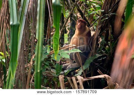 Proboscis monkey sitting on the ground and hiding in the Borneo Jungle, Malaysia