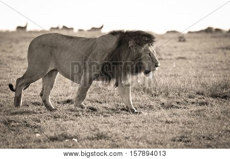 Powerful male lion walking right with prey animals looking on behind him, in sepia