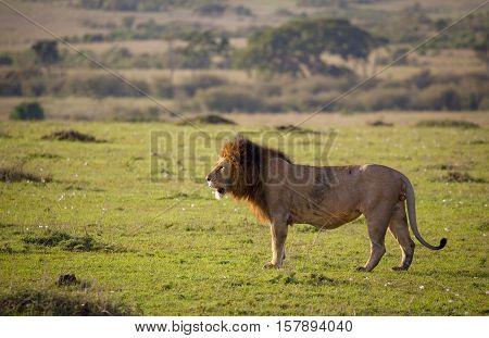 Large male lion on a beautiful grassy plain in Kenya's Masai Mara National Park