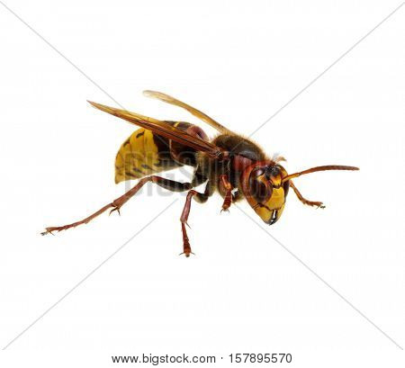hornet isolated on white