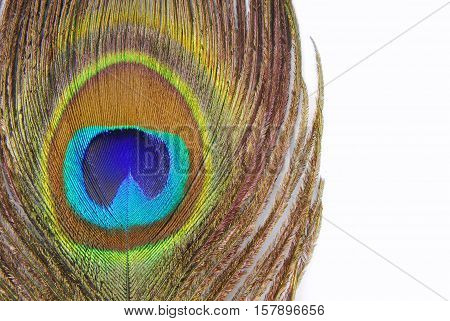 close up of the peacock feathers background