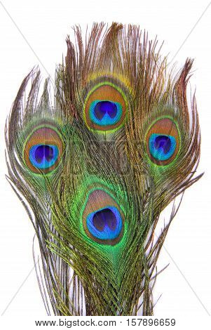 close up of the peacock feathers isolated