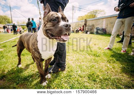 Beautiful Dog American Staffordshire Terrier Standing Near Man Feet. Photo Shot On The Wide-angle Lens.