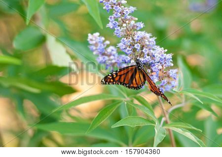 Butterfly on a purple chaste tree flower.