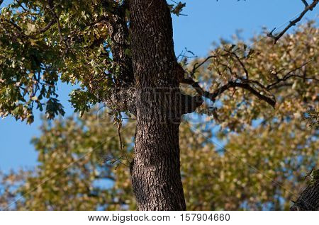 Oak tree outdoors with blue sky in background.