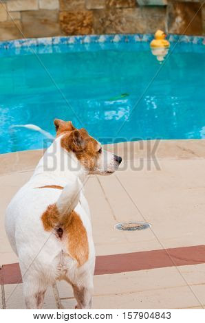 Cute Jack russell dog standing next to aqua blue swimming pool with a yellow rubber ducky floating in background.