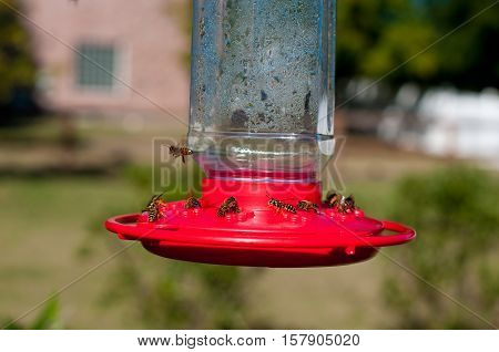 Group of honey bees on a sunny day swarming on a hummingbird feeder outside.