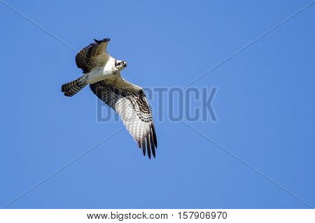 Lone Osprey Flying in a Blue Sky