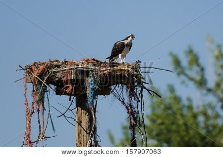 Young Osprey Calling Out While Perched on its Nest