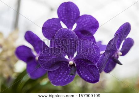 Three beautiful purple flower orchid on a branch close-up