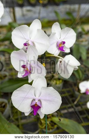 A branch of a large white orchid flower. Beautiful blossoms close-up. Orchid flower on a branch in a garden of orchids. Thailand
