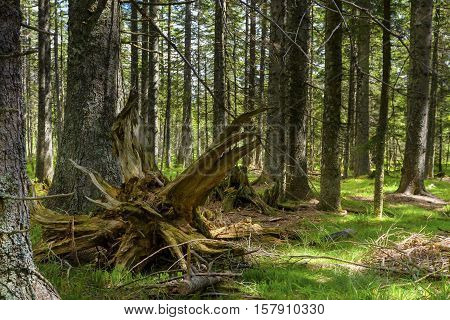 Untouched Primeval Forest In Summer Morning Light