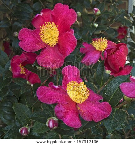 A cluster of Camelia blossoms adorn the bush of a Yuletide Camelia in a garden in North Carolina