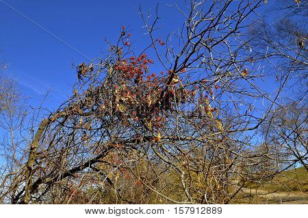 Cluster of orange/red berries of a bittersweet plant in the autumn branches