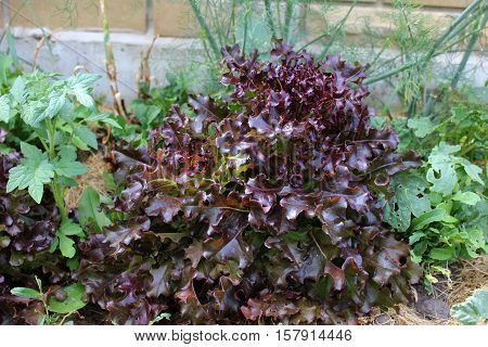 Red leaf lettuce growing in orchard. Greenery in the garden. Growing food plants in summer garden.