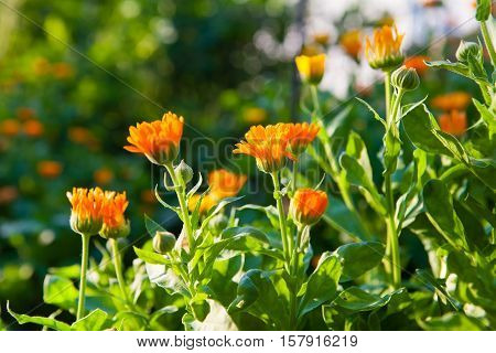 Marigold - annual herb in the rays of the evening sun.