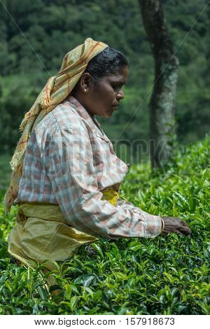 Nilgiri Hills India - October 25 2013: Side portrait of middle aged Hindu woman with yellow head gear picking tea leaves while half submerged in field of tea shrubs. Shades of green stern look checkered shirt.