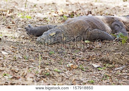 Komodo Dragon In Komodo National Park