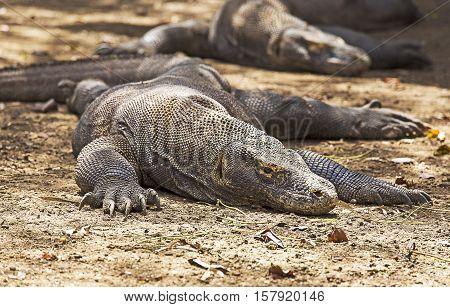 Komodo Dragon in Komodo national park, Indonesia