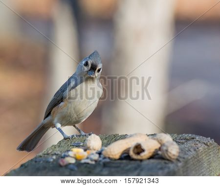 Tufted Titmouse perched on a birdfeeder with peanuts.