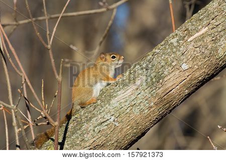 A red squirrel perched in a tree.