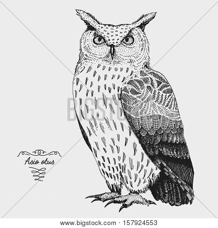 hand drawn vector realistic bird, sketch graphic style, long eared owl, asis otus