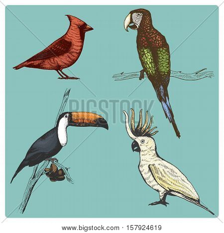 set of 4 tropical hand drawn vector realistic bird, sketch graphic style, parrot, ara macao, cacatua sulphurea, cardinalis, ramphastos toco, toucan, cockatoo, red cardinal