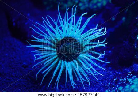 Cylinder anemone (Cerianthus membranaceus), also known as the coloured tube anemone.