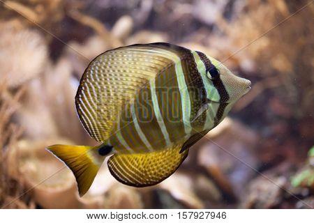 Sailfin tang (Zebrasoma veliferum). Wildlife animal.
