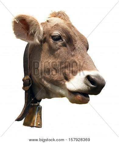 head of brown cow (bos primigenius taurus) with cowbell isolated on white background