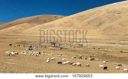 goats and sheeps herd in Indian Himalayas Rupshu valley near Moriri Lake Ladakh Jammu and Kashmir India