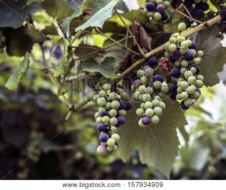ripe grapes on the vine outdoor closeup