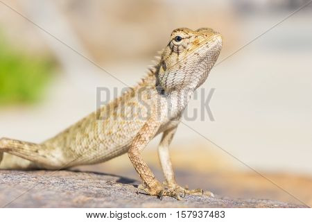 Brown little lizard standing on a stone in bright day.