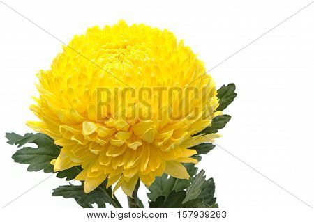 yellow chrysanthemums flower on a white background