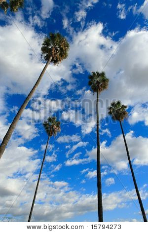 High palm trees, blue sky with white clouds behind.