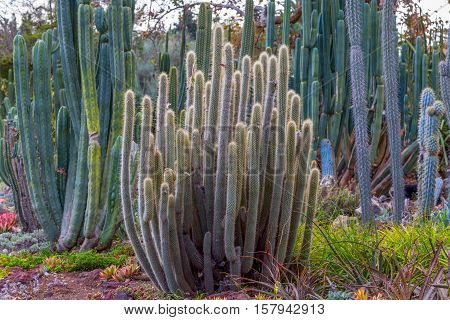 Stand Of Tall Desert Cactus