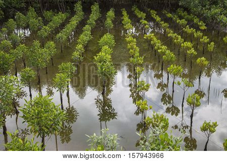 Young Mangroves Plantation Field And Mangroves Forest