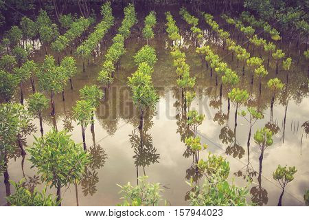 Young Mangroves Plantation Field And Mangroves Forest.vintage Color