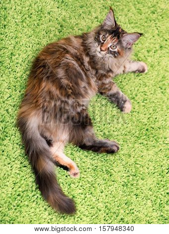 Fluffy tortoiseshell kitty - 4,5 months old - lying on a green carpet. Portrait of domestic Maine Coon kitten, top view point. Playful beautiful young cat looking upwards.