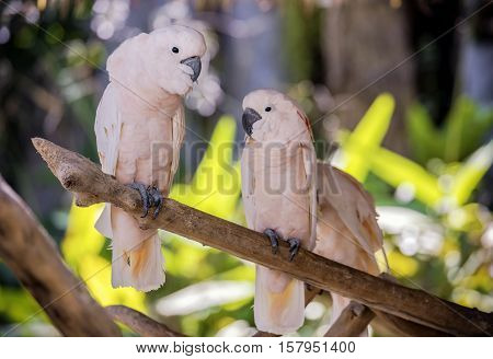 Cute couple of salmon-crested cockatoo on dry branch tree