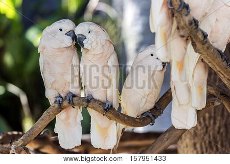 Cute salmon-crested cockatoo on dry branch tree
