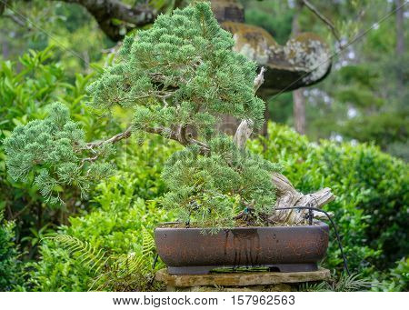 Bonsai tree in the middle of exotic garden in Tampa Florida