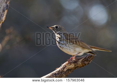 Hermit Thrush sitting on limb in dead tree.