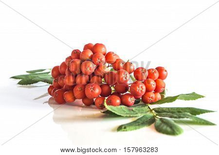 Rowan berries isolated on white background in studio