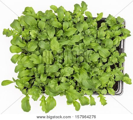 Sweet rucola salad or rocket lettuce leaves in pot isolated on white background. Healthy eating concept. Top view.