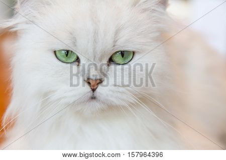 Selective focus to White Persian cats on the floor