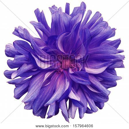 purple big flower pink center on a white background isolated with clipping path. Closeup. big shaggy flower. for design. Dahlia.