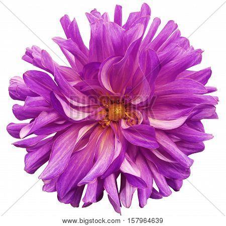 big flower pink-violet yellow center on a white background isolated with clipping path. Closeup. big shaggy flower. for design. Dahlia.