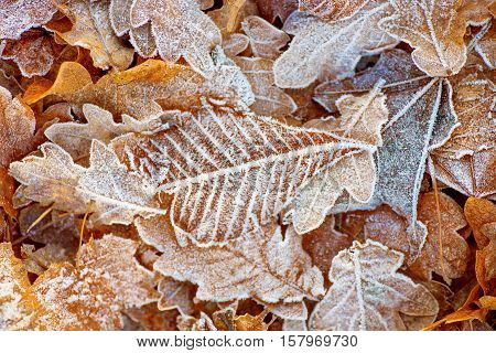 Leaves, Fall, Autumn, Seasonal, Thanksgiving, falling leaves, frost, snow, winter, nature