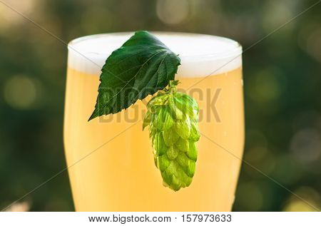 Green hop cone on a glass of light unfiltered beer closeup, background